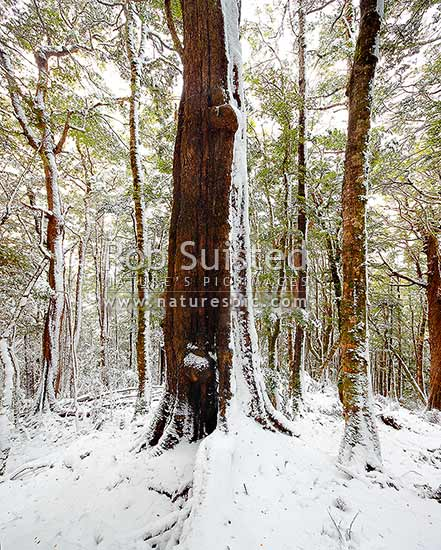 High alpine beech forest (1000masl) interior during a snow storm. Red, Mountain and silver beech trees (Fuscospora fusca, Fuscospora cliffortioides, Lophozonia menziesii, formerly Nothofagus). Square format, Kahurangi National Park, Tasman District, Tasman Region, New Zealand (NZ) stock photo.