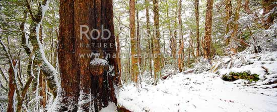 High alpine beech forest (1000masl) interior during a snow storm. Red, Mountain and silver beech trees (Fuscospora fusca, Fuscospora cliffortioides, Lophozonia menziesii). Panorama, Kahurangi National Park, Tasman District, Tasman Region, New Zealand (NZ) stock photo.