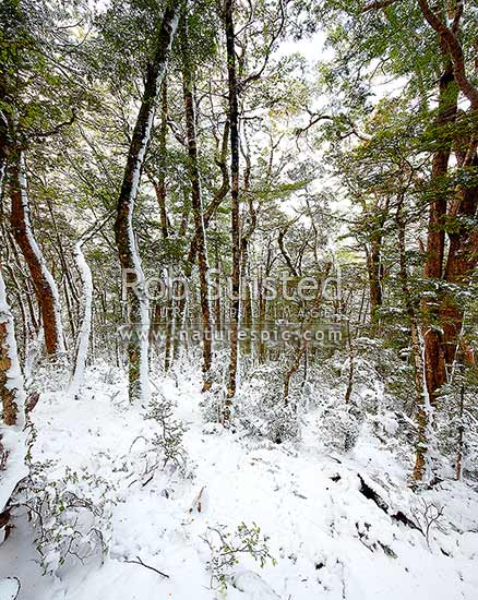 High alpine beech forest (1000masl) interior with fresh winter snow. Red, Mountain and silver beech trees (Fuscospora fusca, Fuscospora cliffortioides, Lophozonia menziesii, formerly Nothofagus). Square format, Kahurangi National Park, Tasman District, Tasman Region, New Zealand (NZ) stock photo.
