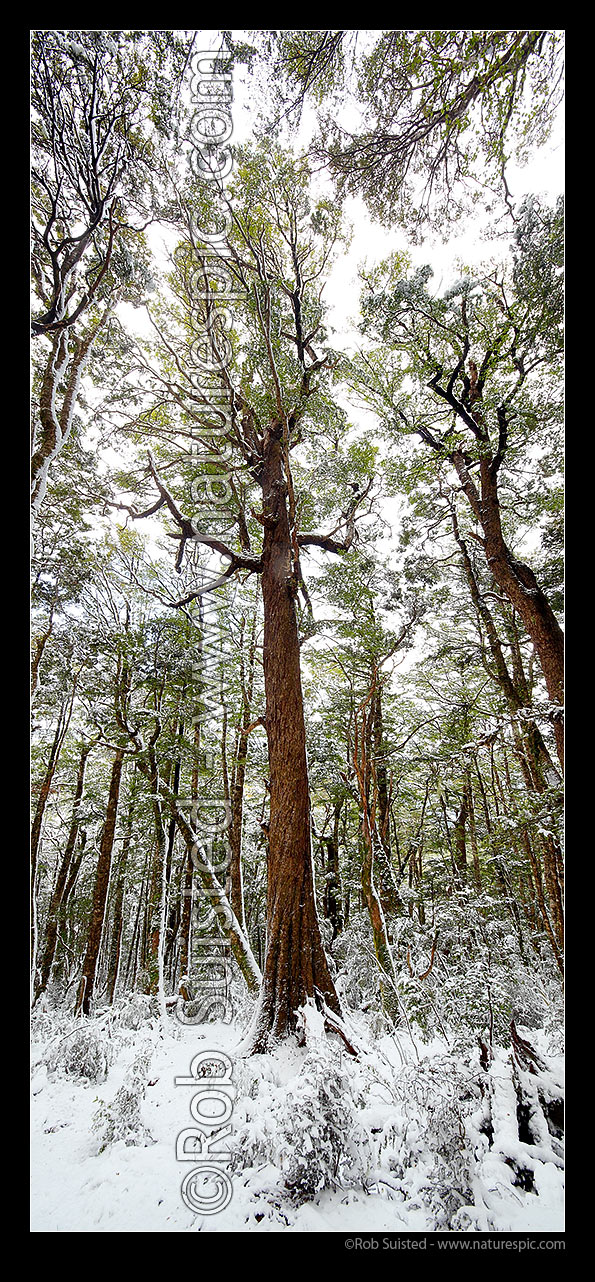 Image of Red Beech tree (Fuscospora fusca, formerly Nothofagus) in high alpine beech forest (1000masl) during snow storm. Vertical panorama, Kahurangi National Park, Tasman District, Tasman Region, New Zealand (NZ) stock photo image