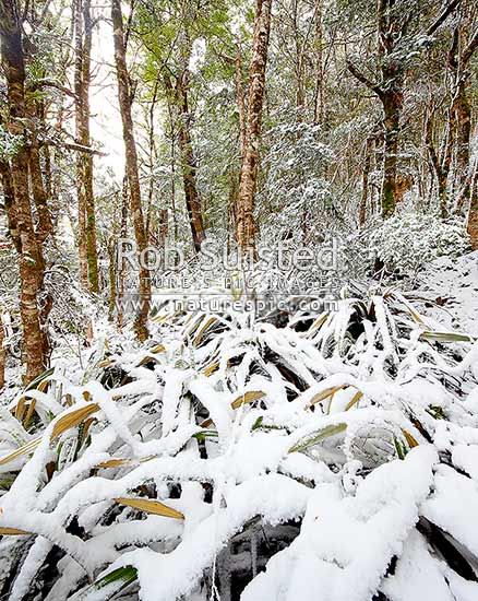 High alpine beech forest (1000masl) interior with undergrowth plastered during a snow storm with fresh snowfall. Red, Mountain and silver beech trees (Fuscospora fusca, Fuscospora cliffortioides, Lophozonia menziesii). Square format, Kahurangi National Park, Tasman District, Tasman Region, New Zealand (NZ) stock photo.
