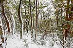 Beech forest in snow, Kahurangi NP