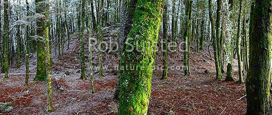 NZ Beech tree forest interior (800masl) during light snowfall. Red and silver beech trees (Fuscospora fusca, Lophozonia menziesii). Panorama, Takaka Hill, Tasman District, Tasman Region, New Zealand (NZ) stock photo.