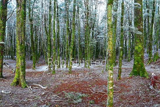 NZ native Beech tree forest interior (800masl) during light snowfall. Red and silver beech trees (Fuscospora fusca, Lophozonia menziesii), Abel Tasman National Park, Tasman District, Tasman Region, New Zealand (NZ) stock photo.