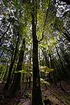 NZ native Silver Beech forest