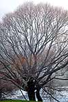 Bare winter willow tree
