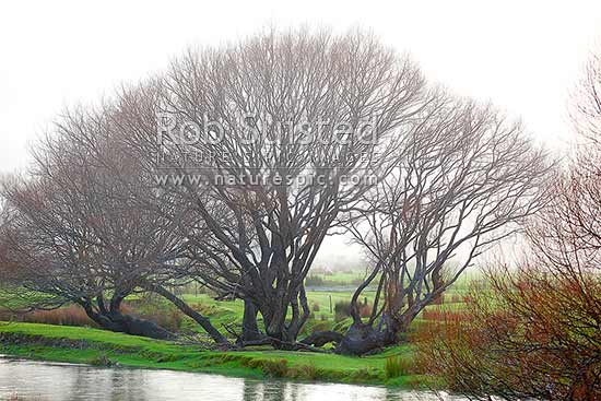 Bare willow trees on a misty winter morning beside the Wakapuaka River, Hira, Nelson City District, Nelson Region, New Zealand (NZ) stock photo.