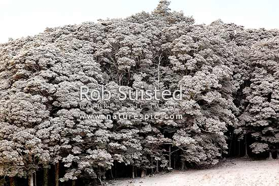 Silver Beech forest and trees dusted with fresh winter snowfall (Lophozonia menziesii, formally Nothofagus menzeseii). Canaan Downs, Abel Tasman National Park, Tasman District, Tasman Region, New Zealand (NZ) stock photo.