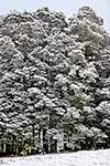 Snow on silver beech trees