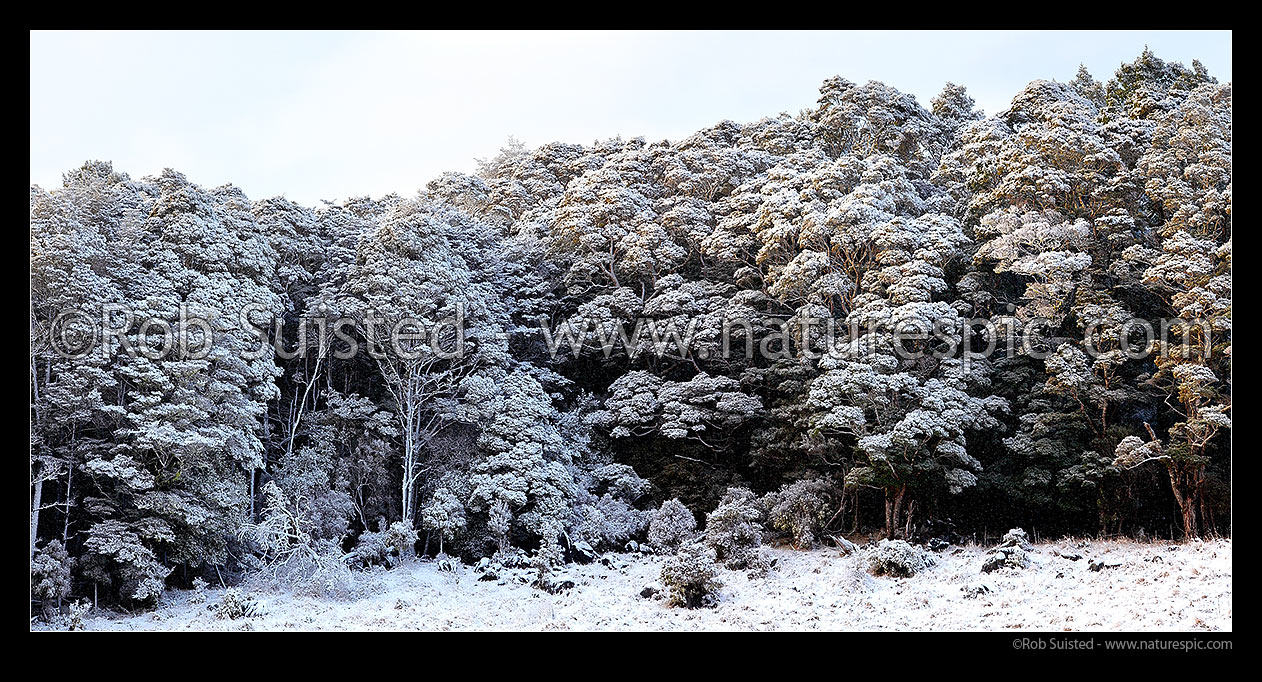 Image of Silver Beech forest dusted with fresh winter snowfall as weather clears after snowstorm (Lophozonia menziesii, formally Nothofagus menzeseii). Canaan Downs. Panorama, Abel Tasman National Park, Tasman District, Tasman Region, New Zealand (NZ) stock photo image