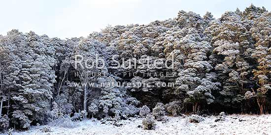 Silver Beech forest dusted with fresh winter snowfall as weather clears after snowstorm (Lophozonia menziesii, formally Nothofagus menzeseii). Canaan Downs. Panorama, Abel Tasman National Park, Tasman District, Tasman Region, New Zealand (NZ) stock photo.