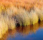 Native sedge reflections