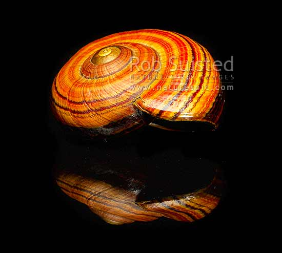 New Zealand Hochstetter's giant landsnail (Powelliphanta hochstetteri) on black backgroud. Threatened NZ native terrestrial mollusc, Takaka Hill, New Zealand (NZ) stock photo.
