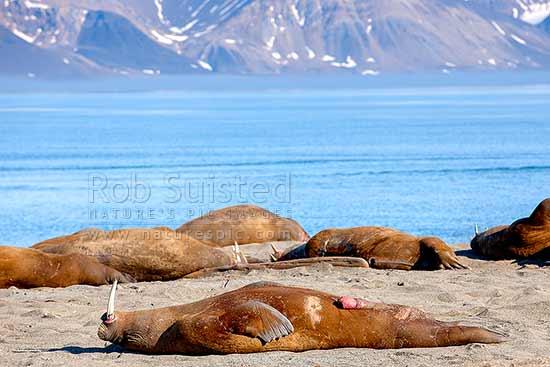 Hoe groot is een walrus lul