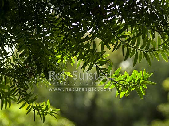 Kauri tree branch and leaves in backlit sunlight (Agathis australis), New Zealand (NZ) stock photo.