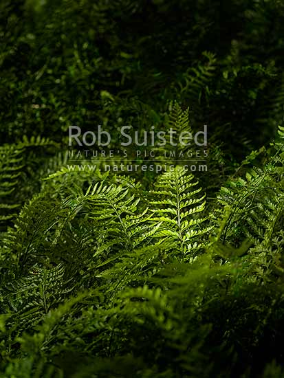 Hen and Chicken Ferns (Asplenium bulbiferum) and fronds growing on forest floor in sunlight patch, New Zealand (NZ) stock photo.
