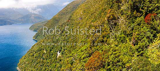 Secretary Island slopes above Thompson Sound. Flowering Southern Rata trees (Metrosideros umbellata), aerial panorama. Doubtful Sound distance, Fiordland National Park, Southland District, Southland Region, New Zealand (NZ) stock photo.