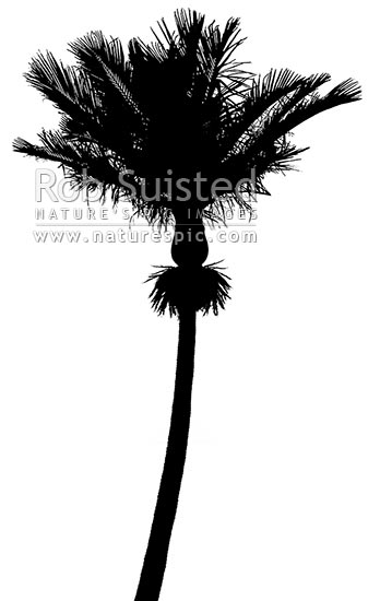 Nikau Palm Tree An Iconic Nz Native Tree And Southern