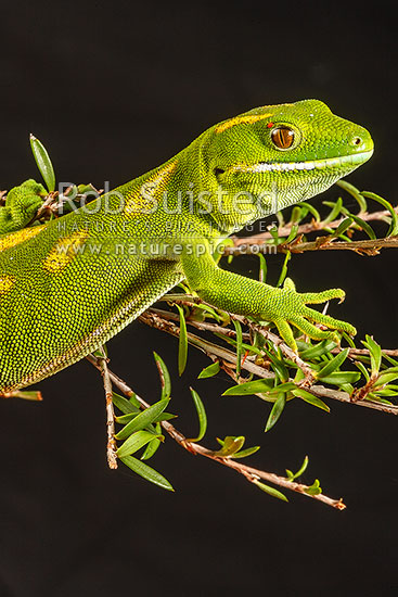 Northland Green Gecko (Naultinus grayii) with red skin mite in eye fold, a common external parasite. Native endemic lizard, New Zealand (NZ) stock photo.