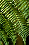 Tree fern fronds, NZ native