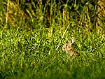Wild juvenile rabbit in grass