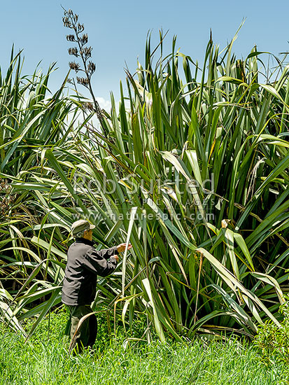 Giant Harakeke Flax bushes (Phormium tenax) in the Horowhenua. Ex DOC Ranger Richard Anderson showing, Ohau, Horowhenua District, Manawatu-Wanganui Region, New Zealand (NZ) stock photo.