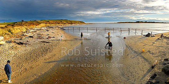 Whitebaiting near the mouth of the Mataura River. Whitebait fishermen checking nets. Panorama, Fortrose, Southland District, Southland Region, New Zealand (NZ) stock photo.