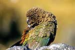 Native Kea bird preening