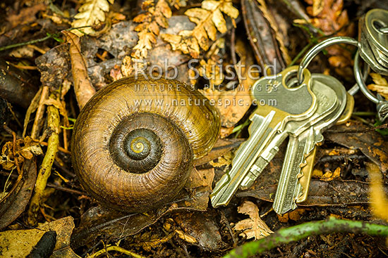 Giant land snail shell Powelliphanta traversi traversi (Powell) (Gastropoda: Pulmonata: Rhytididae). Horowhenua. Threatened species. Keys for scale. latizona, Levin, Horowhenua District, Manawatu-Wanganui Region, New Zealand (NZ) stock photo.