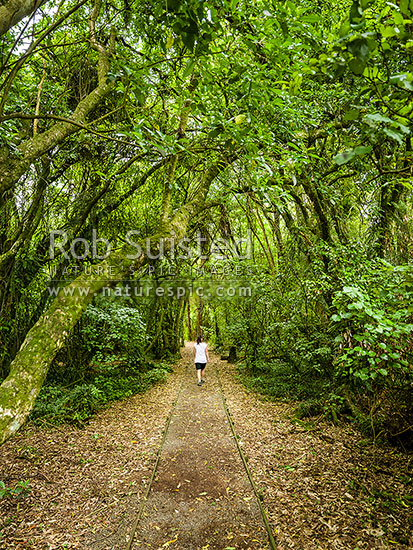 Waiopehu Scenic Reserve walkway with visitor walking through remnant forest, Levin, Horowhenua District, Manawatu-Wanganui Region, New Zealand (NZ) stock photo.