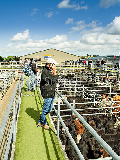 Farmer on mobile phone above saleyard pens at weaner cattle livestock sales. Rural auctions, Feilding, Manawatu District, Manawatu-Wanganui Region, New Zealand (NZ) stock photo.