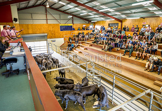 Cattle Auction At The Feidling Livestock Saleyards. Elders