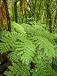 NZ forest interior, Tawa and ferns