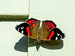 Red Admiral Butterfly, NZ native