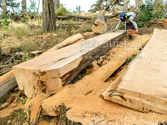 Chainsaw milling a large macrocarpa tree trunk log into for Mill log
