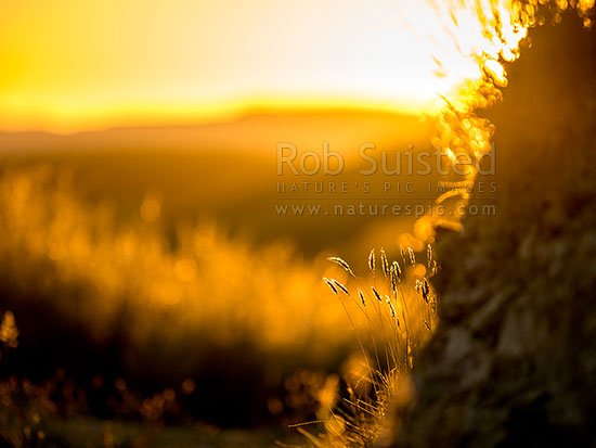 Grass silhouetted by setting sun  Golden light on farmland