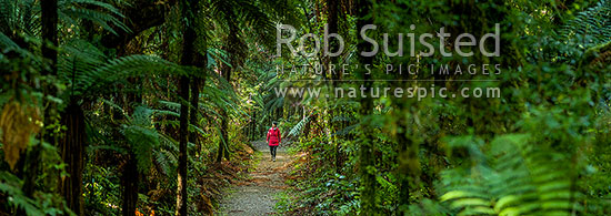 Rainforest track and woman walker. Person walking through Pureora Podocarp bush trail and tree ferns. Panorama, Pureora Forest Park, Waitomo District, Waikato Region, New Zealand (NZ) stock photo.