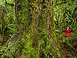 Giant Rimu tree in rainforest