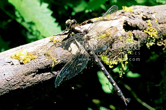 Giant Mountain dragon fly (Uropetala chiltoni), Fox River, Paparoa National Park, New Zealand (NZ) stock photo.