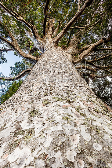 New Zealand Kauri Tree (Agathis australis) trunk and crown, Far North District, Northland Region, New Zealand (NZ) stock photo.
