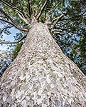 Kauri tree trunk and crown