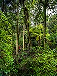 Northland Kauri forest walk