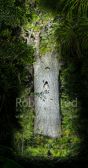 Tane Mahuta, giant Kauri tree, illuminated by torch light (Agathis australis). Largest Kauri tree in world. 50m high/13.7m girth/1500 y.o. Vertical panorama, Waipoua Forest, Far North District, Northland Region, New Zealand (NZ) stock photo.