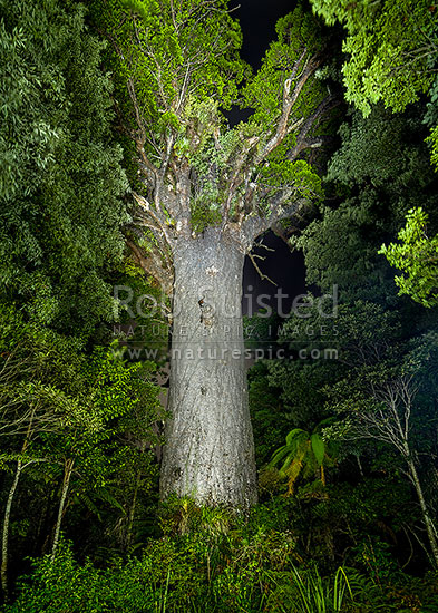 Giant Kauri tree (Tane Mahuta), illuminated by torch light (Agathis australis). Largest Kauri tree in world. 50m high/13.7m girth/1500 y.o, Waipoua Forest, Far North District, Northland Region, New Zealand (NZ) stock photo.