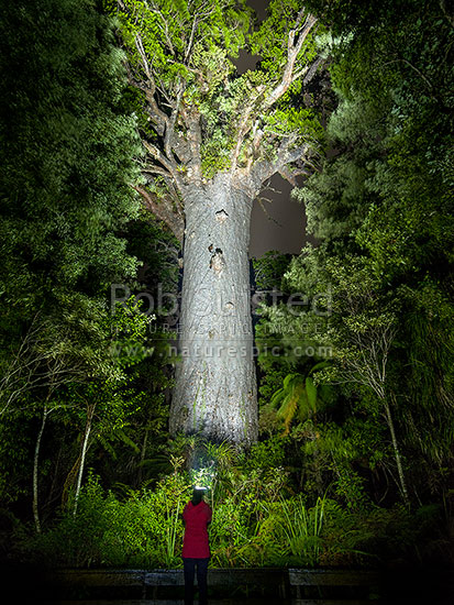 Giant Kauri tree (Tane Mahuta), illuminated by person with torch (Agathis australis). Largest Kauri tree in world. 50m high/13.7m girth/1500 y.o, Waipoua Forest, Far North District, Northland Region, New Zealand (NZ) stock photo.