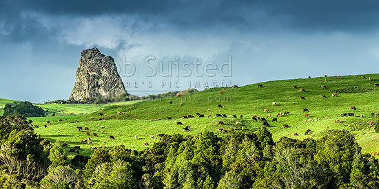 Dairy cows grazing below dramatic Maungaraho Rock (221m). Panorama, Dargaville, Kaipara District, Northland Region, New Zealand (NZ) stock photo.