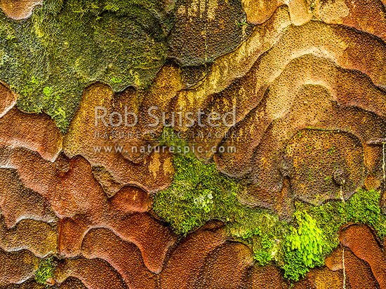 Kauri tree bark patterns made from flaking bark to clean trunk of moss and foreign growth (Agathis australis). Wet with rain, Waipoua Forest, Far North District, Northland Region, New Zealand (NZ) stock photo.