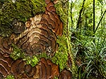Kauri tree bark patterns and moss