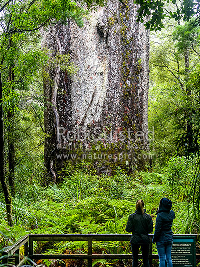 Te Matua Ngahere Kauri Tree and visitors - Father of the Forest, with girth at 16.4m, a massive tree of 208 cubic metres trunk volume, Waipoua Forest, Far North District, Northland Region, New Zealand (NZ) stock photo.