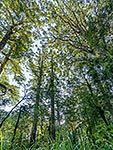Kauri forest canopy, Northland